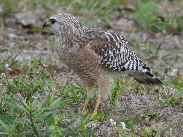 Red-shouldered Hawk Florida subspecies