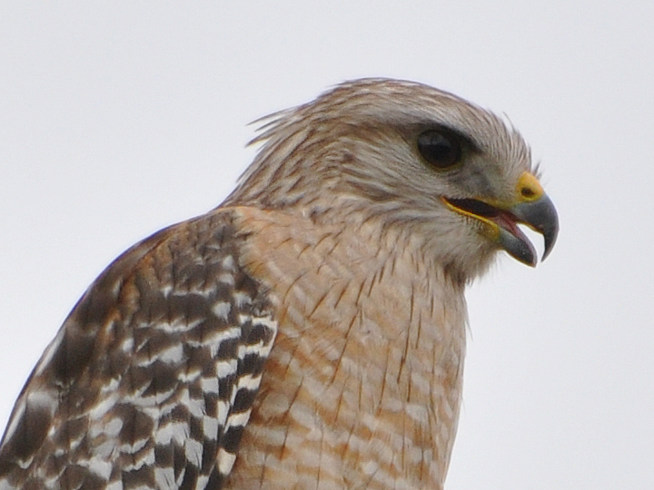 Red-shouldered Hawk, FL subspecies