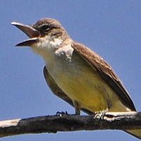 Thick-billed Kingbird TBKI
