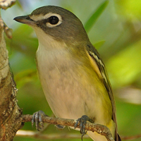 Blue-headed Vireo BHVI