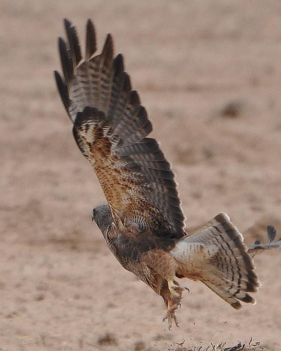 Swainson's Hawk dark morph