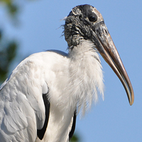 Wood Stork WOST