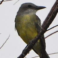 Tropical Kingbird TRKI