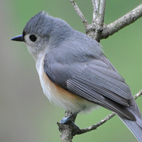 Tufted Titmouse JUTI