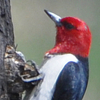 Red-headed Woodpecker RHWO