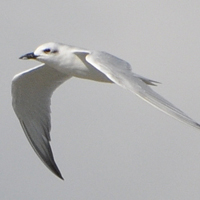 Gull-billed Tern GBTE