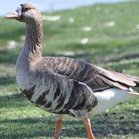 Greater White-fronted Goose GWFG