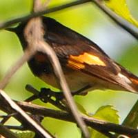 American Redstart AMRE