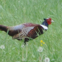Ring-necked Pheasant RNEP