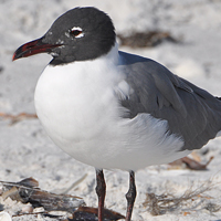 Laughing Gull LAGU