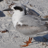 Forster's Tern FOTE