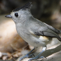 Black-crested Titmouse BCTI