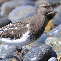 Black Turnstone BLTU