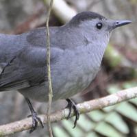 Gray Catbird GRCA