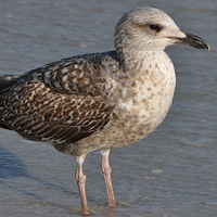 Herring Gull HERG