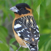 Black-headed Grosbeak BHGR