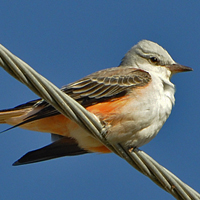 Scissor-tailed Flycatcher STFL