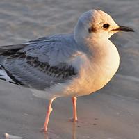 Bonaparte's Gull BOGU