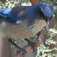 Woodhouse's Scrub-Jay WOSJ