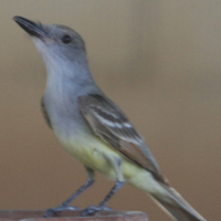 Brown-crested Flycatcher BCFL
