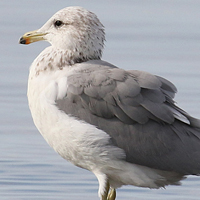 California Gull CAGU