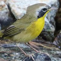 Common Yellowthroat COYE