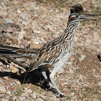 Greater Roadrunner GRRO