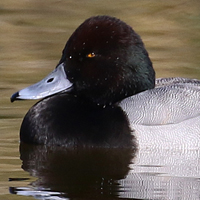 Greater Scaup GRSC