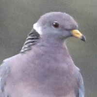 Band-tailed Pigeon BTPI