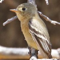 Buff-breasted Flycatcher BBFL