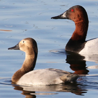 Canvasback CANV