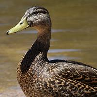 Mexican Duck MEDU
