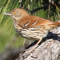 Brown Thrasher BRTH