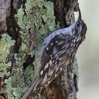 Brown Creeper BRCR