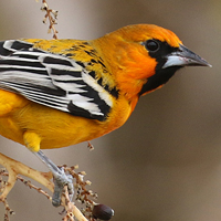 Streak-backed Oriole SBAO