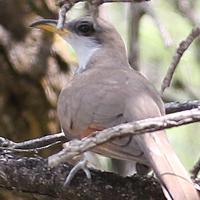 Yellow-billed Cuckoo YBCU