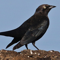 Brewer's Blackbird BRBL