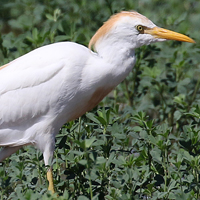 Cattle Egret CAEG