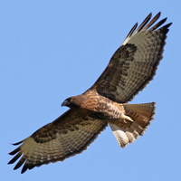 Red-tailed Hawk RTHA morph
