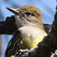 Great-crested Flycatcher GCFL