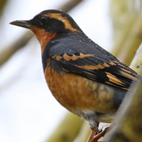 Varied Thrush VATH