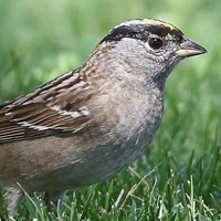 Golden-crowned Sparrow GCSP