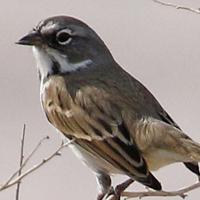 Bell's Sparrow BESP