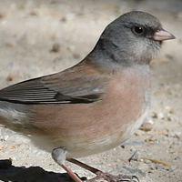 Dark-eyed Junco DEJU pink-sided