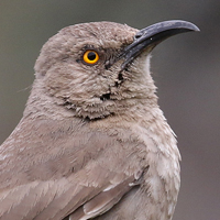 Curve-billed Thrasher CBTH