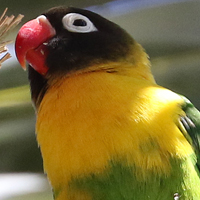 Yellow-collared Lovebird YCLO
