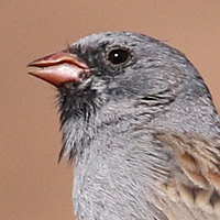 Black-chinned Sparrow BCSP
