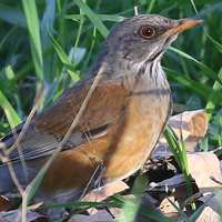 Rufous-backed Robin RBRO