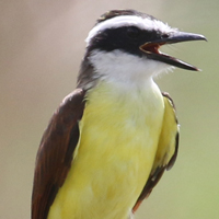 Great Kiskadee GRKI