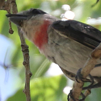 Rose-throated Becard RTBE